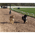 dog afghan racing club