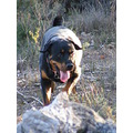 rottweiler dog canine animal family pet bush