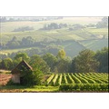 Wineyard vines field landscape countryside France Beaujolais september