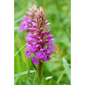 early purple orchid marsland mouth devon