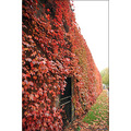 london wall ivy red autumn