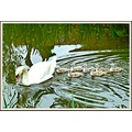 reflectionthursday swan cygnets