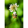 nature insect bee bug flower white green bokeh