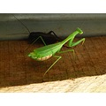 insect prayingmantis cricket wildlife nature