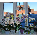 Front windowsill full of orchids...