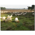netherlands bussum sheep landscape nethx bussx heatn animx sheex landn