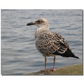 netherlands denhelder animal bird gull nethx denhx animx birdx gullx