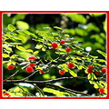 nature huckle berries