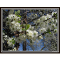 Blackthorn Sloe Prunus spinosa