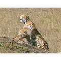 Cheetahs Wildlife Kenya MasaiMara Animals