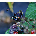 wasp flies blackcurrant