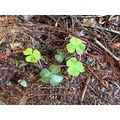 clover prairie creek park california trail ground luck irish green wet