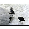 winter birds coot ice
