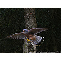 wildlife bird kestrel nature