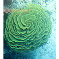 coral reef sea plants