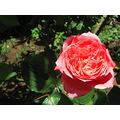 flower rose nature garden
