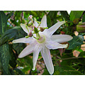 Passion flower white garden home Alora Malaga Andalucia Spain