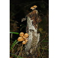 MUSHROOM FOREST parens nature autumn fungi fungus mushroomclub