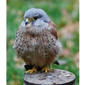 birdofprey falconry kestrel bird wildlife