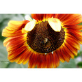 flower sunflower nature plant
