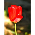 red tulip flower mjghajar
