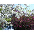 japanesecherrytree blossom spring