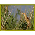 I think it's a Little Bittern female  Try the original view
