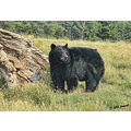blackhills southdakota bearcountry animals bears