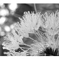 dandelion seed dandelionseed ice frost morning