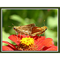 skippers zinnia garden butterfly nature