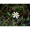 nature alpine daisy nz