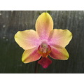 Yellow pink orchid macro