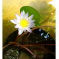 WATERLILLY WATER LILY FLOWE