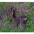Deer wild young female