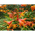 crocosmia autumn