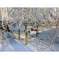 netherlands eemnes view sheep winter frost tree nethx eemnx frostx animx treex