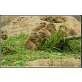 zoo emmen holland prairiedogs