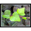 green heart ivy leaves