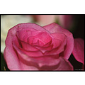stlouis missouri us usa plant flower rose pink 2007