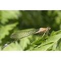 damselfly nature macro