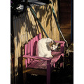 cat cats pink bench garden domestic animal animals gardens feline white preening
