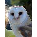 barn owl bird feather porfell cornwall