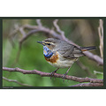 A Bluethroat,  Try the original view  Have a wonderful weekend!