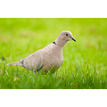 Collared Dove Streptopelia decaocto sandyhills d300 nikon bird birding
