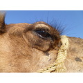 This is Isha the Camel in Tunisia Sept 2010