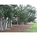 Moreton Bay FIg Trees in New Farm Park