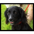 dog pet companion spaniel cockerspaniel