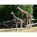 animal zoo wildlife giraffe