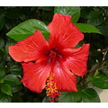 I always love flowers and the hibisus is very special.