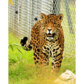 jaguar cat wild feline animal zoo chester spots portrait face